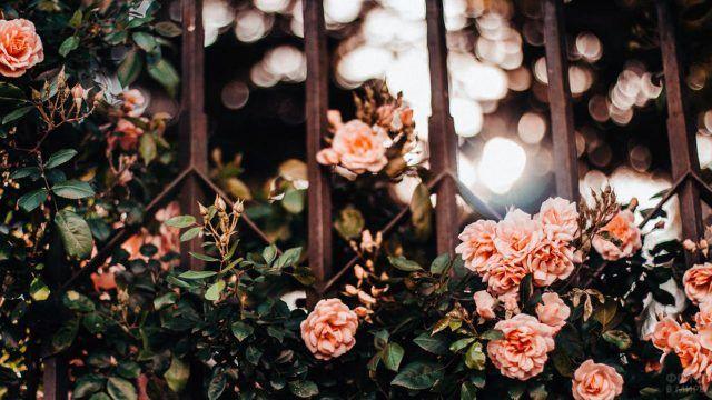 Светлые розы на садовой ограде