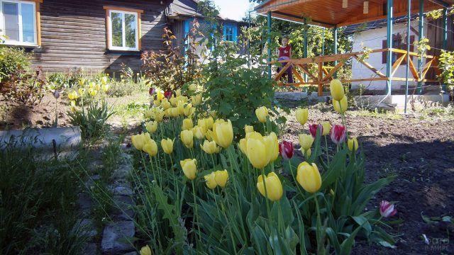 Жёлтые тюльпаны перед деревенским домиком