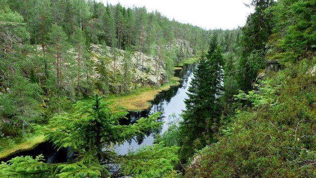 Река в глухой еловой тайге