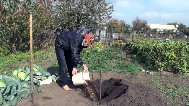 Мужчина сажает яблоню в огороде