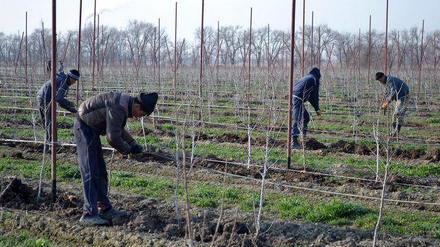 Работники из Средней Азии высаживают грушовый сад
