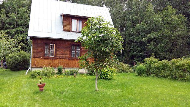 Деревце на лужайке перед деревянным дачным домом на опушке леса