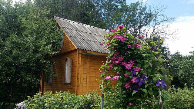 Небольшой дачный домик в зелени сада с кустами клематисов