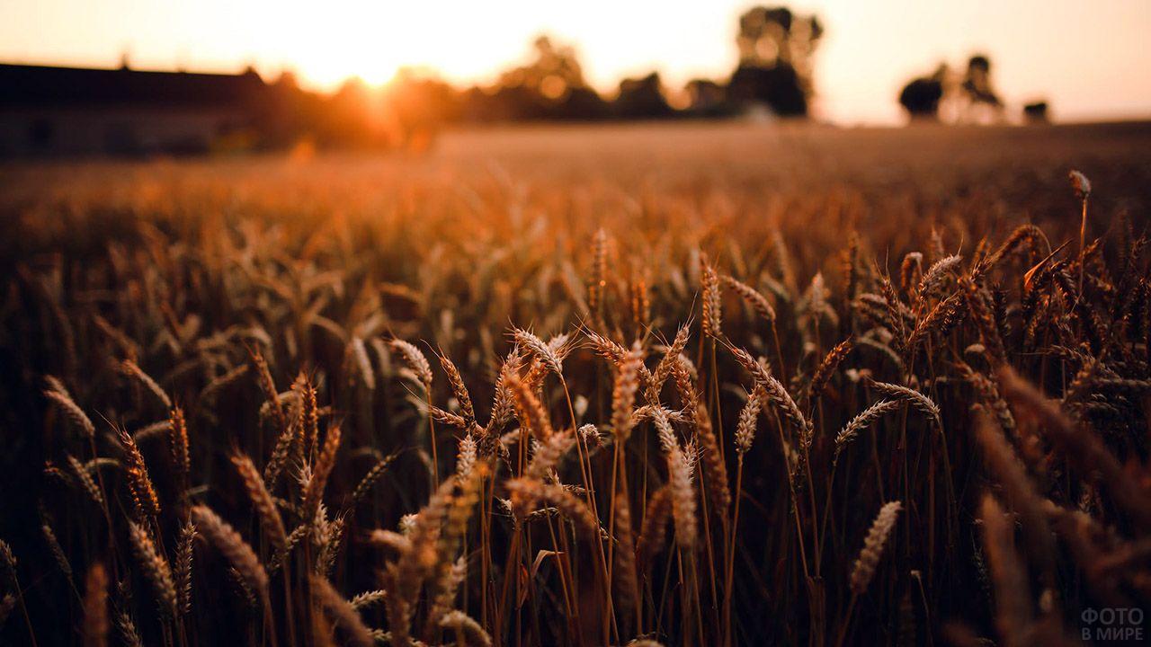Пшеничное поле в лучах заходящего солнца