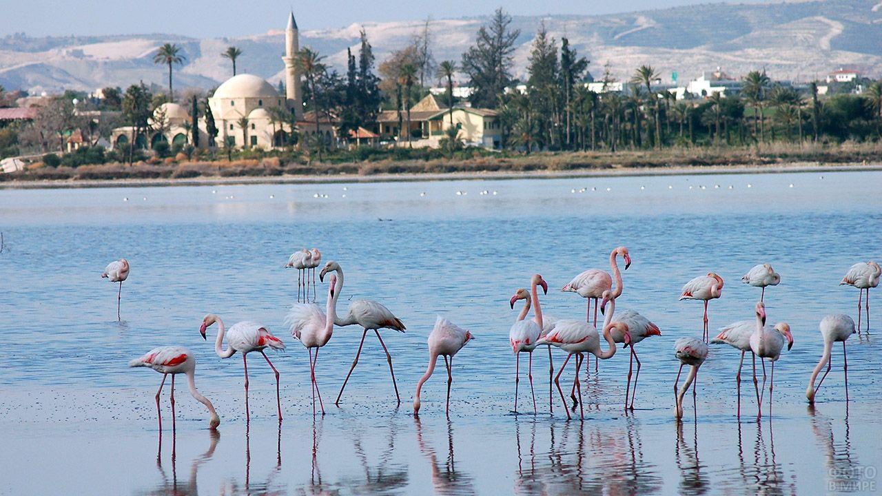 Фламинго на мелководье солёного озера Ларнаки
