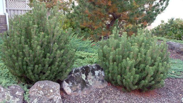 Декоративная горная сосна в садовом рокарии