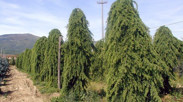 Гималайские плакучие кедры в питомнике