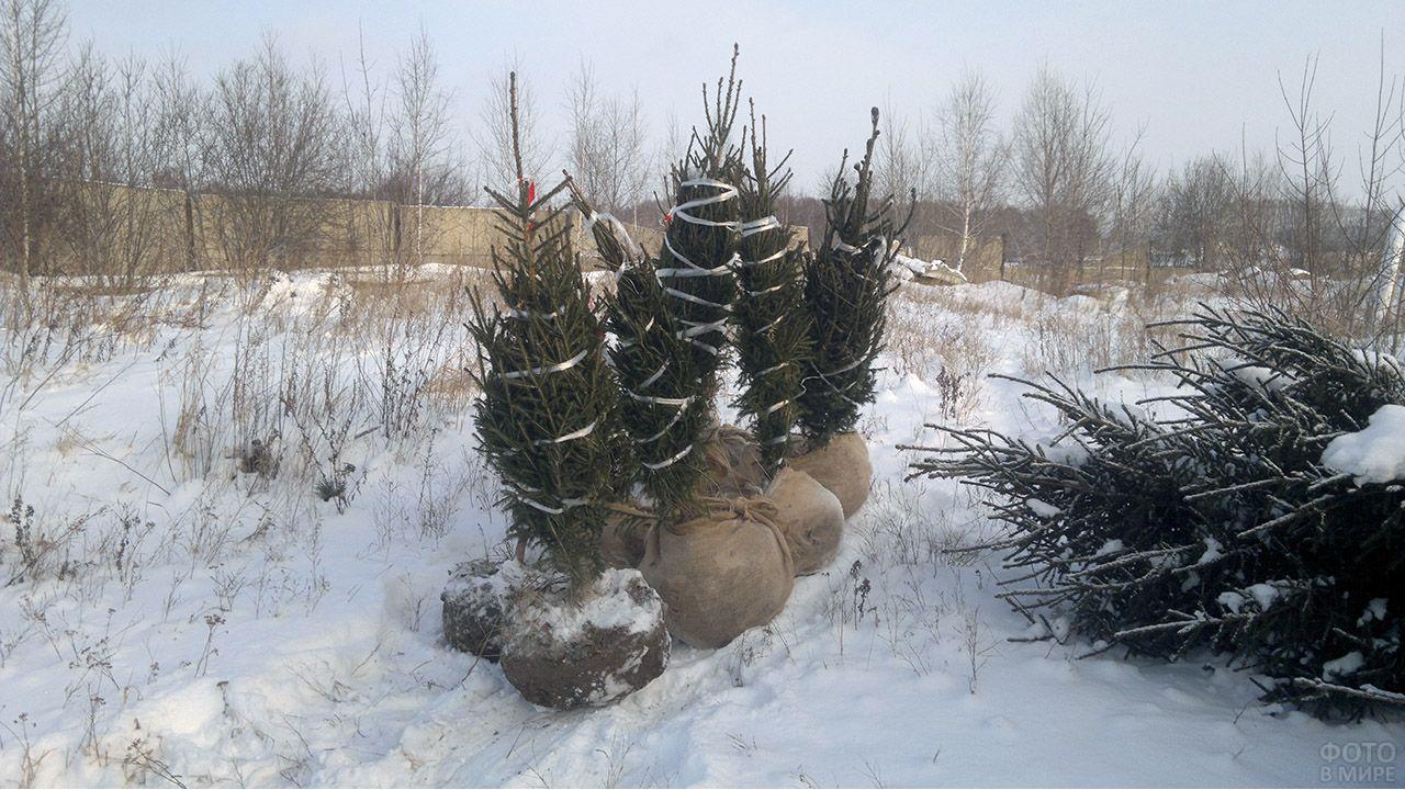 Готовые к транспортировке саженцы кедра в зимнем питомнике