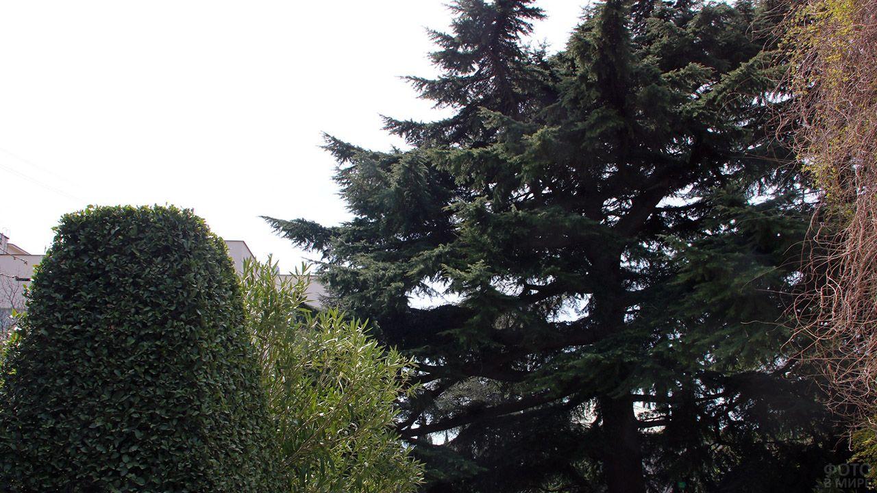 Кедр гималайский в ялтинском ботаническом саду