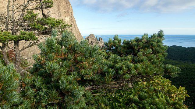 Кедр на скале над морем