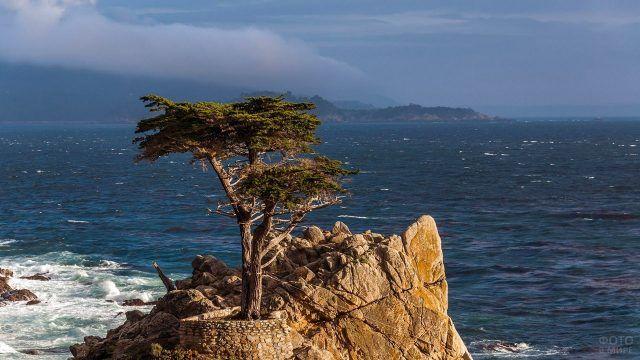 Кипарис на калифорнийском побережье Тихого океана