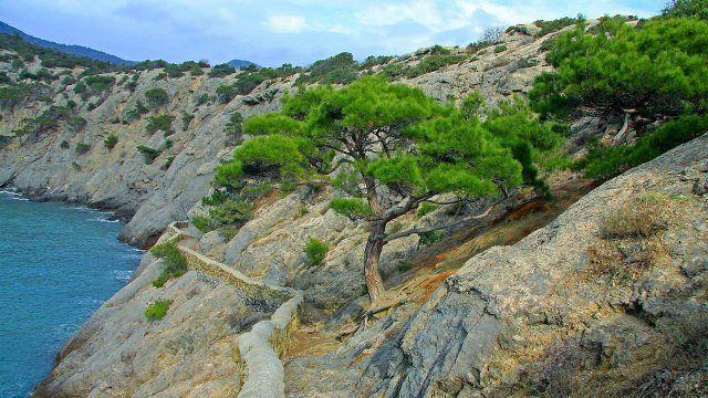 Крымская сосна на склоне каменистого обрыва над морем