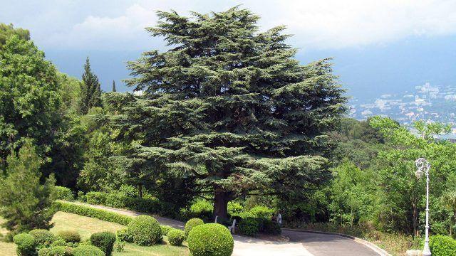 Ливанский кедр в городском парке