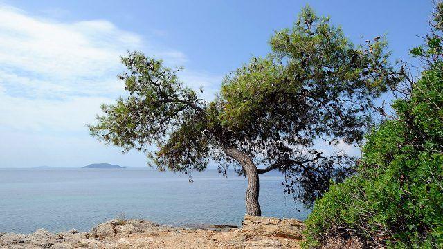 Одинокая сосна над морем