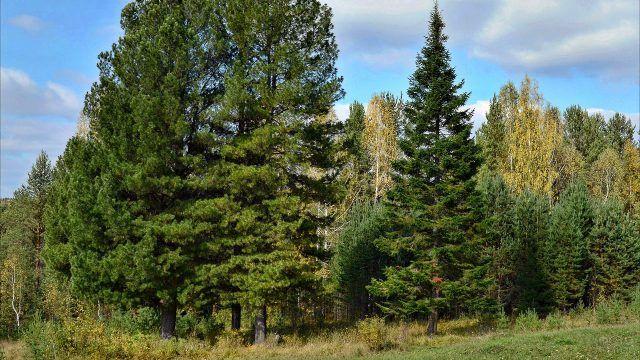 Сибирские кедры на опушке леса