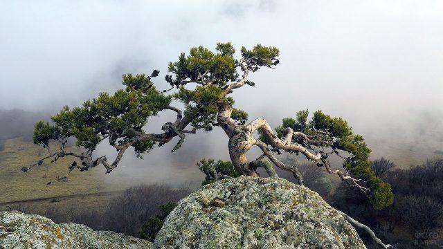 Сосна на скалистом обрыве в облаках