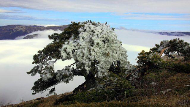 Сосна на верхушке горы, занесённая порывами ветра снегом с одной стороны