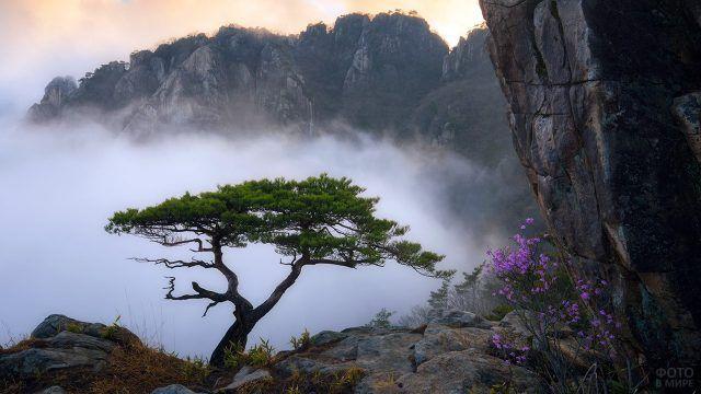 Сосна в тумане на скалах