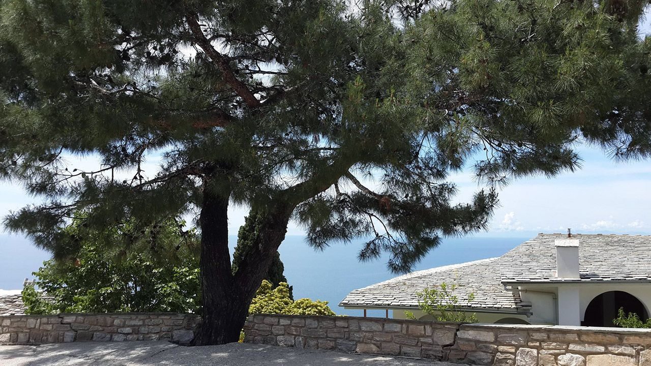Старая сосна на территории греческого храма