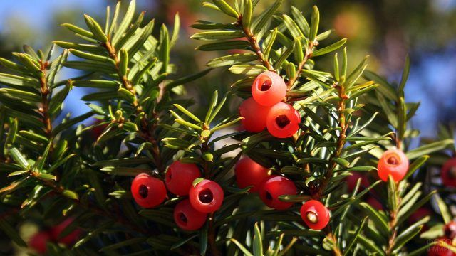Ветка тиса с ягодами крупным планом