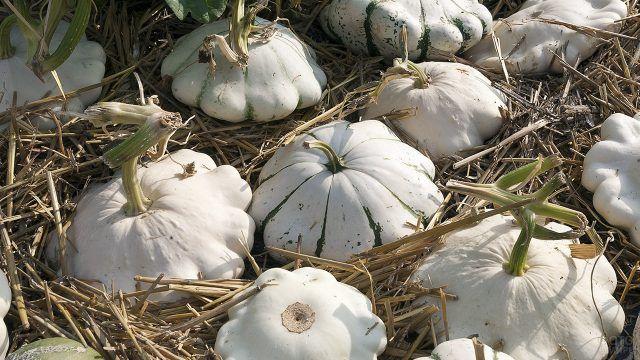 Аккуратно уложенный в солому урожай патиссонов