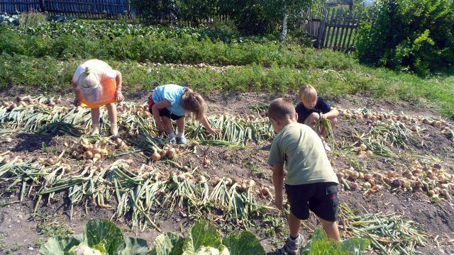 Малыши помогают на уборке урожая лука в огороде