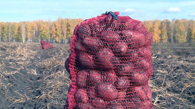 Мешок картошки в убранном осеннем поле