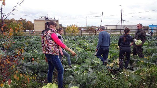Школьники на уборке капусты