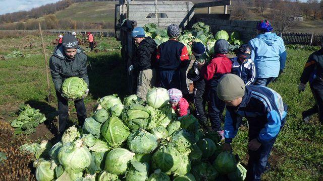 Школьники помогают убрать с поля урожай капусты