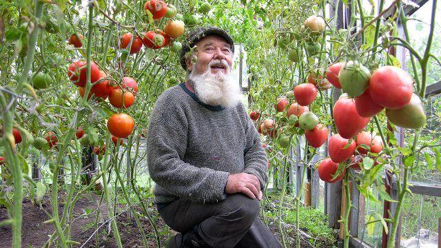 Тюменский дачник среди урожая помидоров