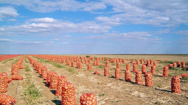 Уборка лука в Астраханском поле