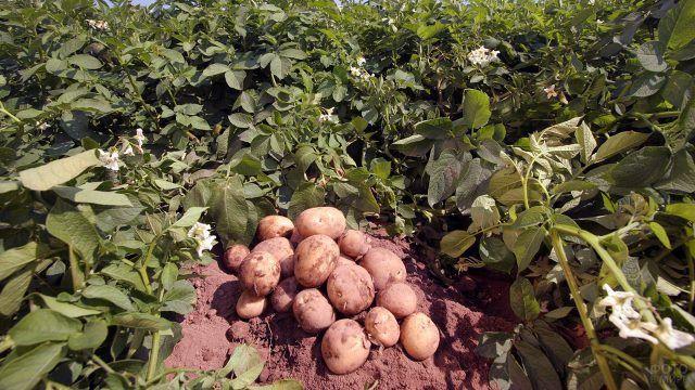 Урожай картофеля с одного куста