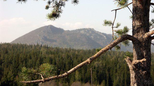 Уральская сосна крупным планом на фоне вершины Двуглавая сопка