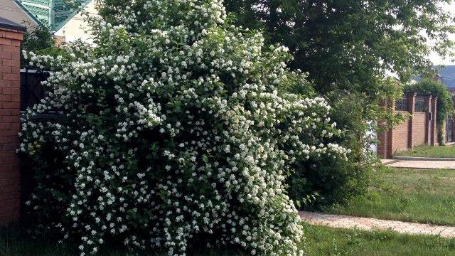 Белый жасмин у кирпичного забора загородного дома