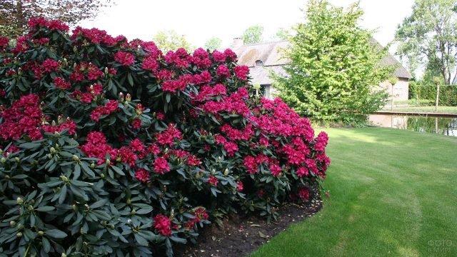 Бордовые кусты цветущего рододендрона вдоль зелёной лужайки
