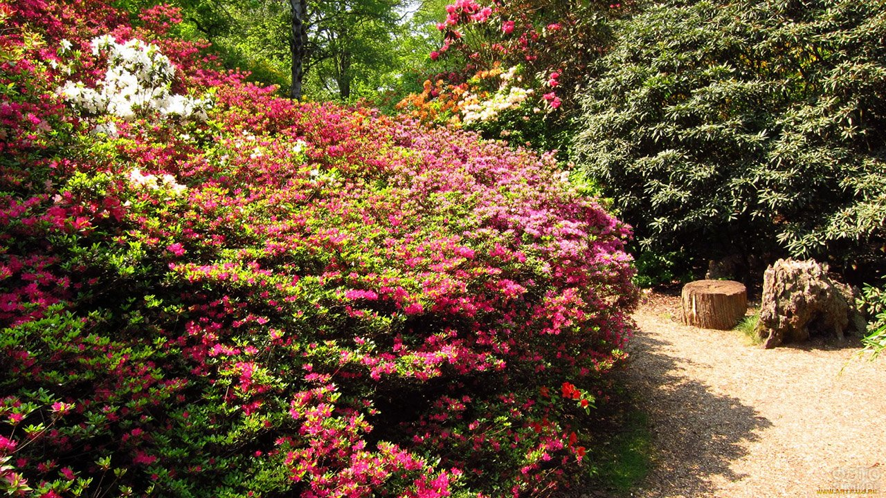 Буйный цвет кустов азалии вдоль тропинки английского сада