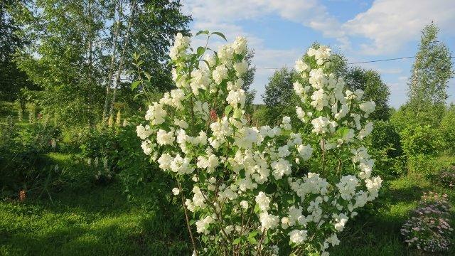 Чубушник среди садового участка с берёзами в средней полосе России