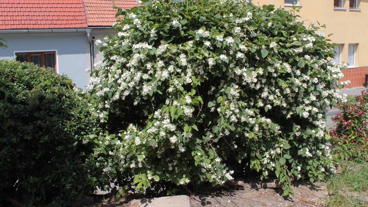 Чубушник венечный он же белый куст жасмина у загородного дома