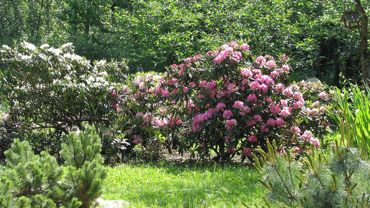 Цветущий куст рододендрона среди зелёного сада