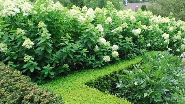 Двухъярусная живая изгородь с цветущим белым чубушником
