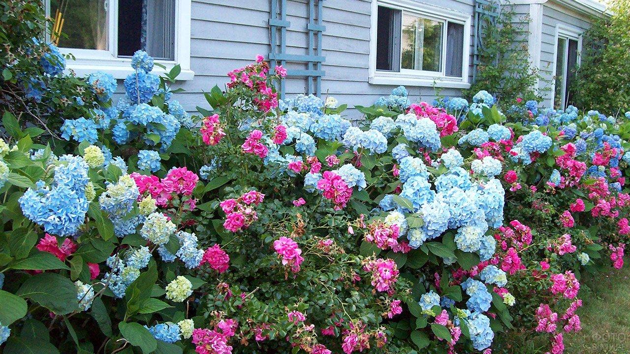 Голубая гортензия и розовая роза в палисаднике вдоль деревянной дачи