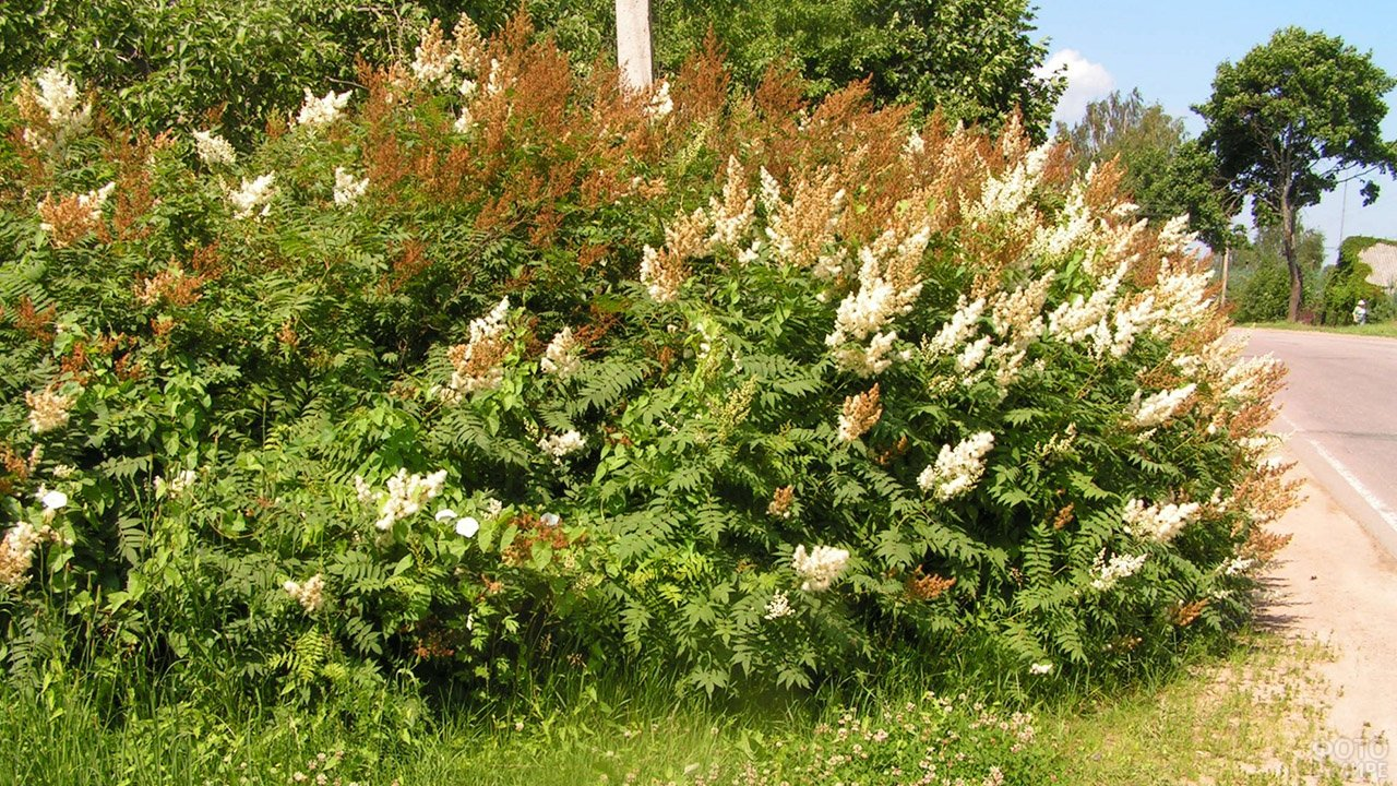 Куст рябинника рябинолистного в палисаднике садого участка