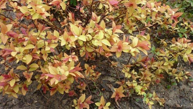 Осенние кусты спиреи с жёлто-красной листвой