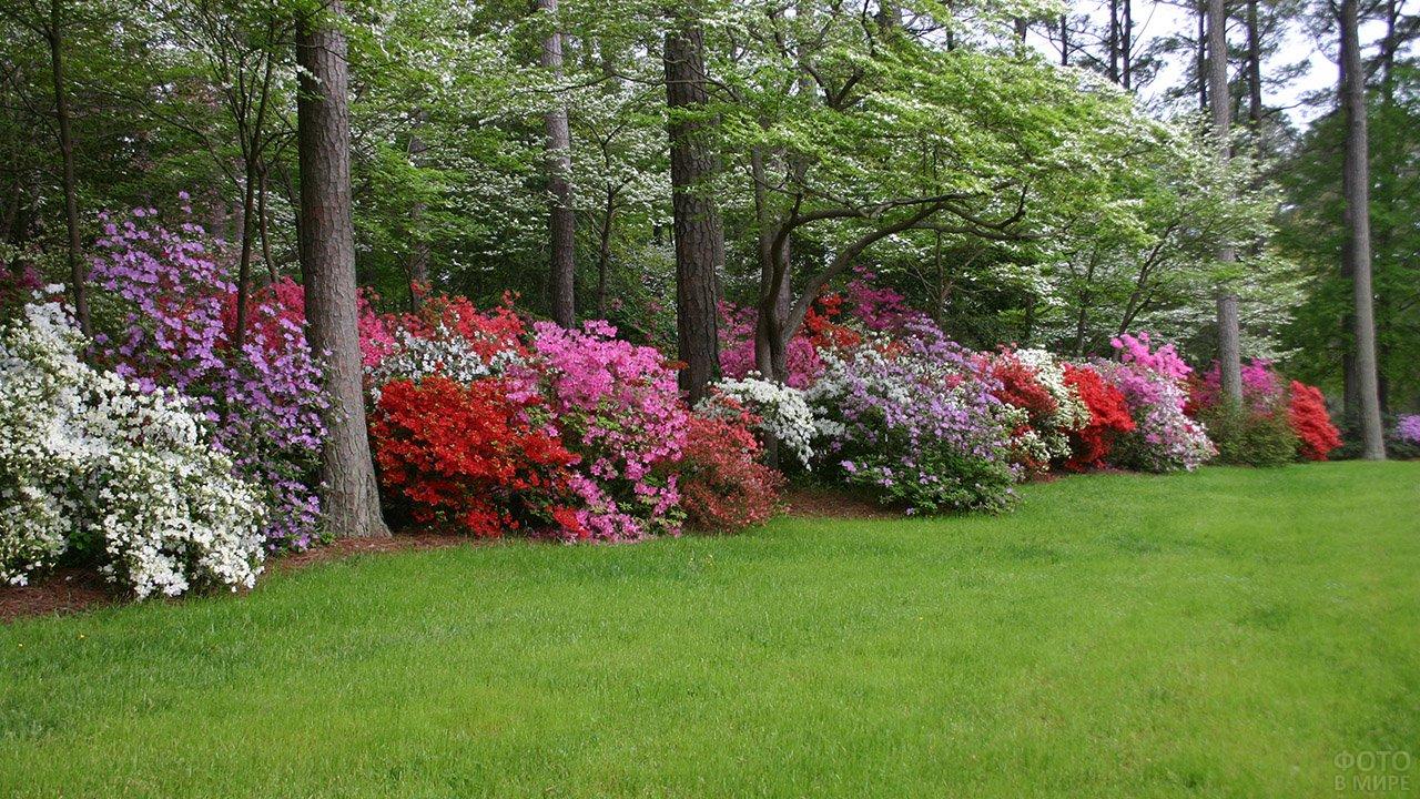 Рододендроны в тени садовой лужайки