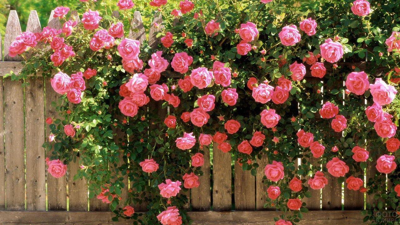 Розовые кустовые розы перекинулись через деревянную сельскую ограду