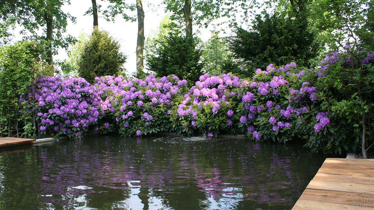 Сиреневые кусты рододендрона у пруда в саду загородного дома