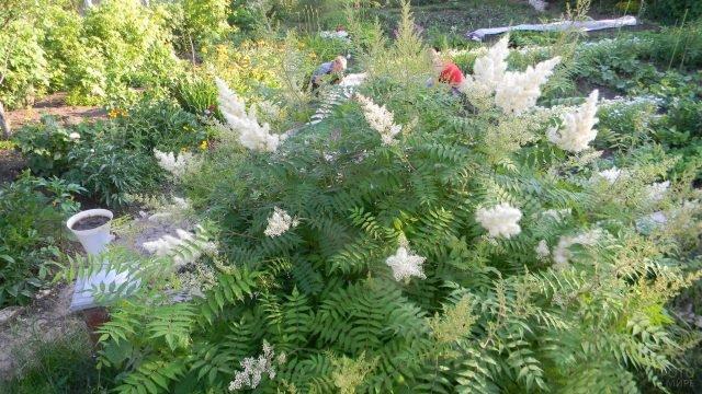 Спирея рябинослистная в саду средней полосы России
