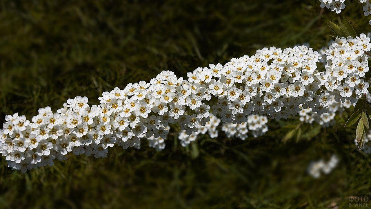 Ветка цветущей спиреи в саду