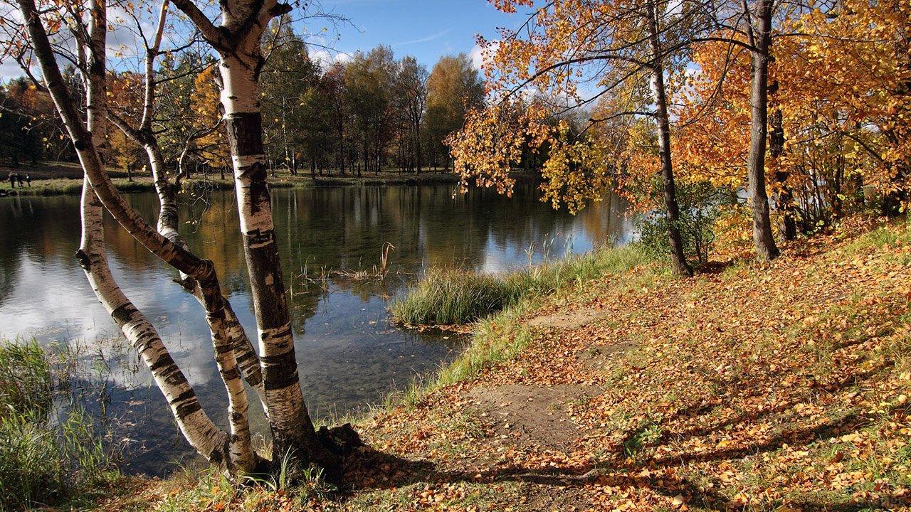 Берёза на усыпанном осенней листвой берегу лесного озера