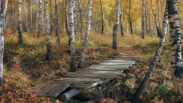 Деревянный мосток в осенней берёзовой роще